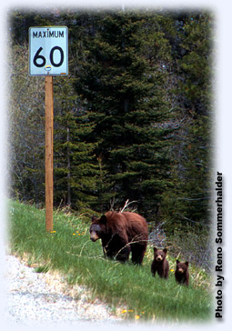 Bears by sign