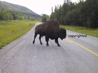Large Bull Wod Bison on Alaska Highway